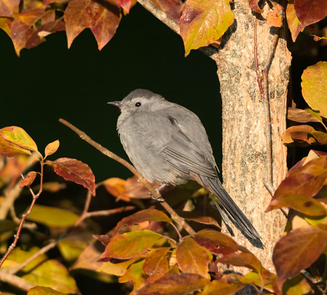 Gray Catbird in the Changing Fall Colors