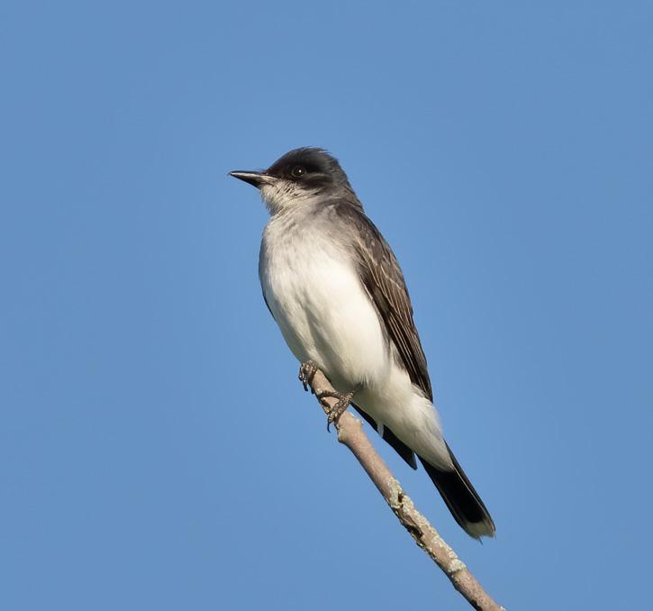 Perched Eastern Kingbird
