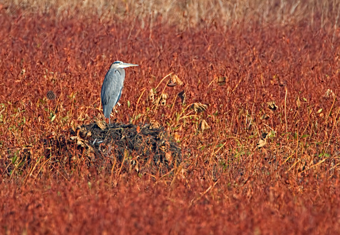 Great Blue Heron Landscape in the Fall Colors