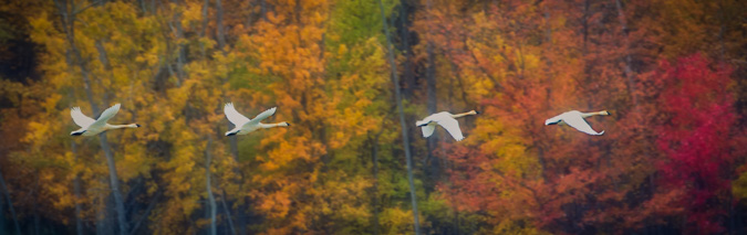Tundra Swans in Flight, Autumn Colors