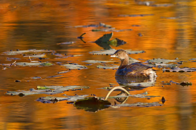 Pied-billed Grebe in a Reflection of the Fall Colors