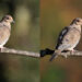 Mourning Dove in the Fall Color - Before & After