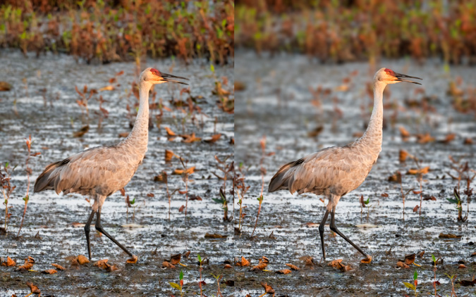 Sandhill Crane Blurred Background Before and After