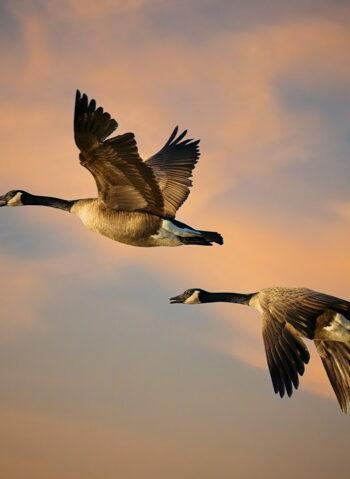 Canada Geese In the Sunrise