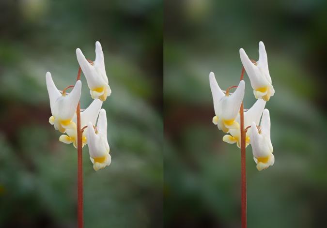Dutchman's Breeches Wildflower - Before & After Gaussian Blur