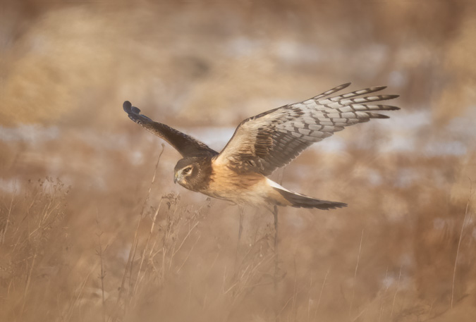 Northern Harrier Hunting in the Tall Grass