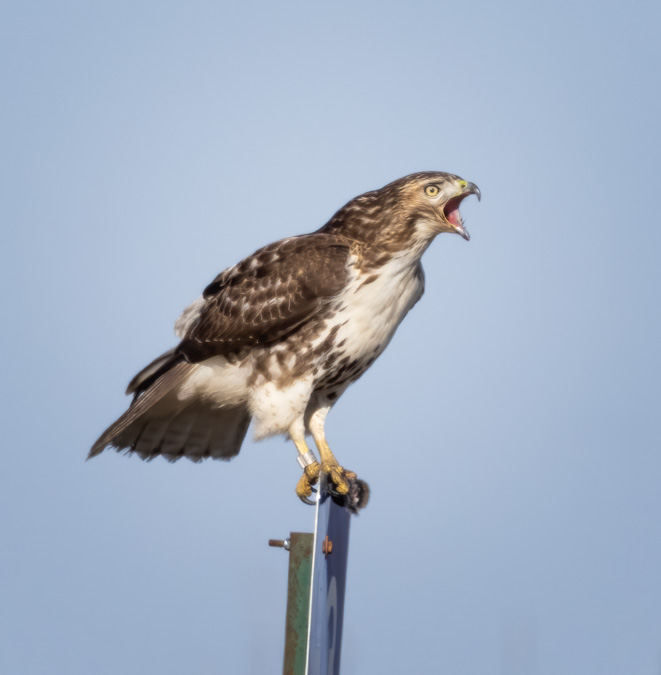 Red-tailed Hawk Calling