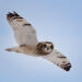 Short-eared Owl in Flight