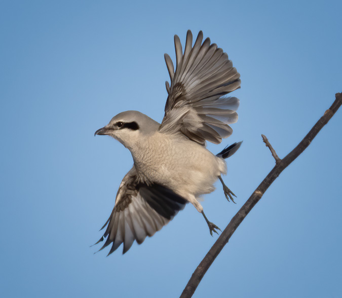Northern Shrike Take Off
