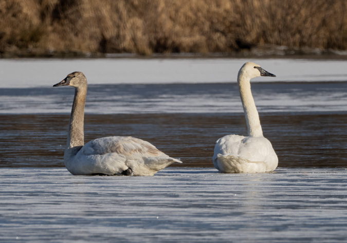 Tundra Swans, ISO 500, f/13, 1/500 second