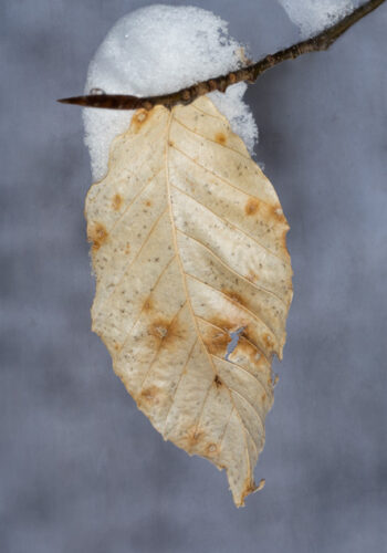 Snow Covered Beech Leaf