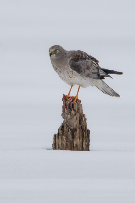 Northern Harrier in a Cold, Snowy Environment