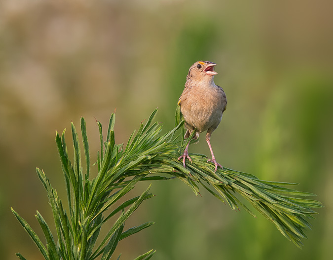 Grasshopper Sparrow - Leading Lines, Rule of Thirds