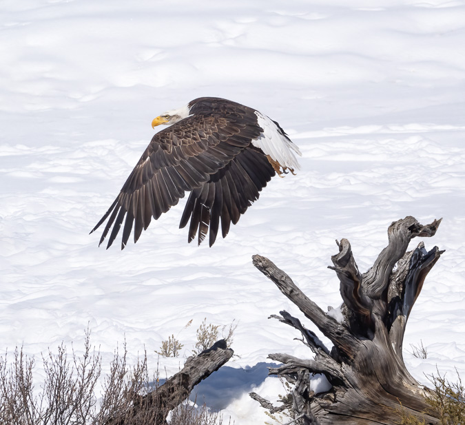 Bald Eagle Take Off - ProCapture Low Mode