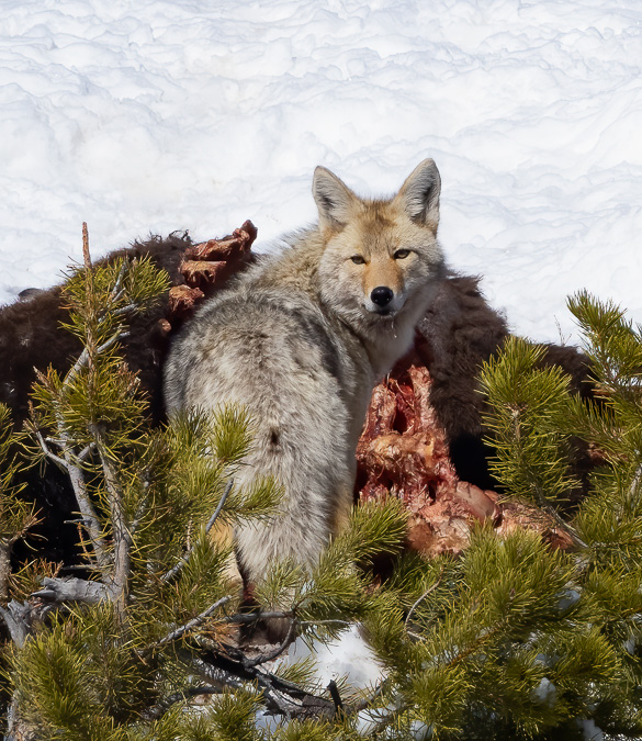 Coyote on a Bison Carcass
