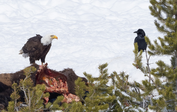 Stare Down, Bald Eagle and Raven on a Bison Carcass