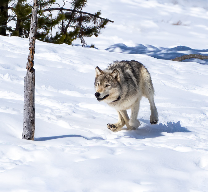 Gray Wolf Chasing a Coyote off a Bison Carcass