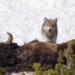 Gray Wolf, Guarding the Bison Carcass