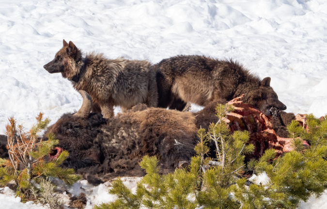 Members of the Wapiti Lake Pack on a Bison Carcass