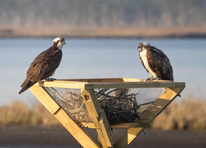 Ospreys on a Nesting Platform