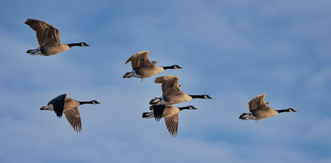 Canada Geese are Excellent Practice Subjects