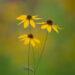 Soft Summer Flowers. Canon 100-400mm + 1.4x extender