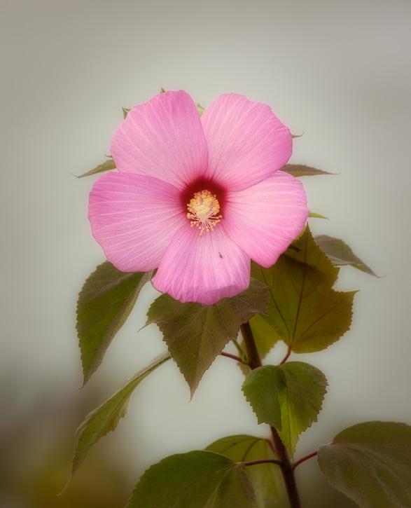 Soft Pink Flower. Canon 100-400mm + 1.4x Extender