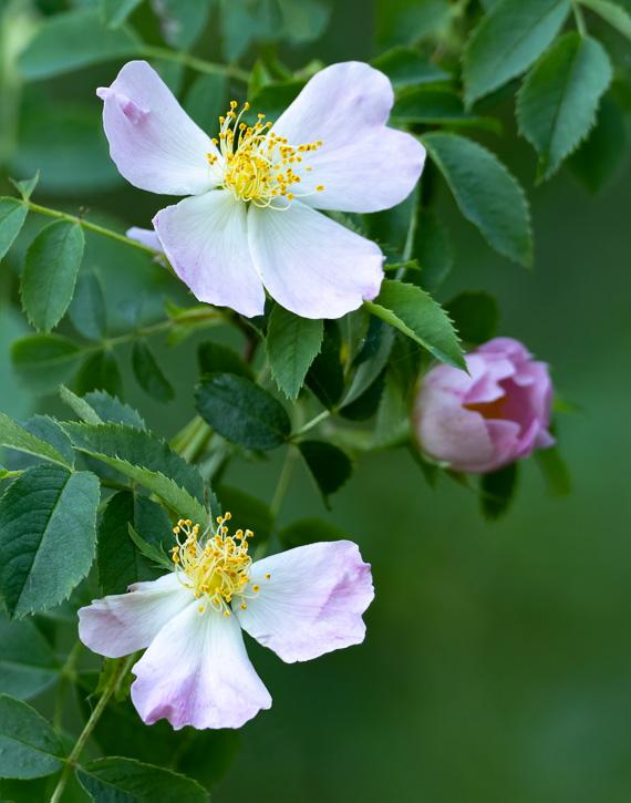 Wild Rose. Olympus 300mm f/4 + 1.4x teleconverter