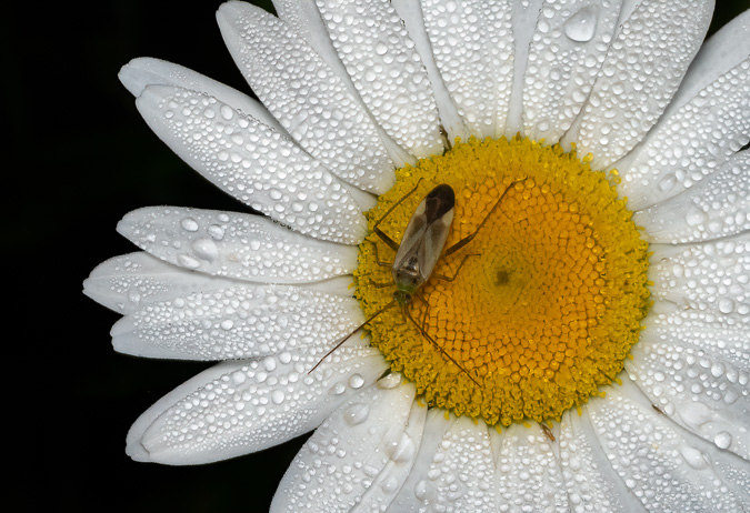 Bug in a Daisy - Background Replaced