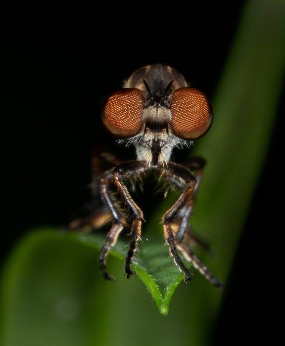 Robber Fly with the Leaves Darkened in Post Processing