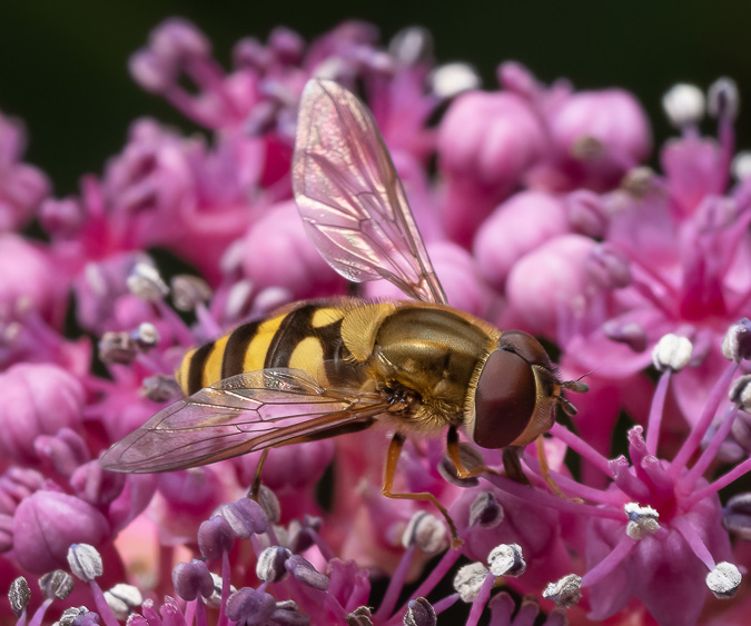 Hover Fly- ISO 200, 60mm, f/9.0, 1/60 Second