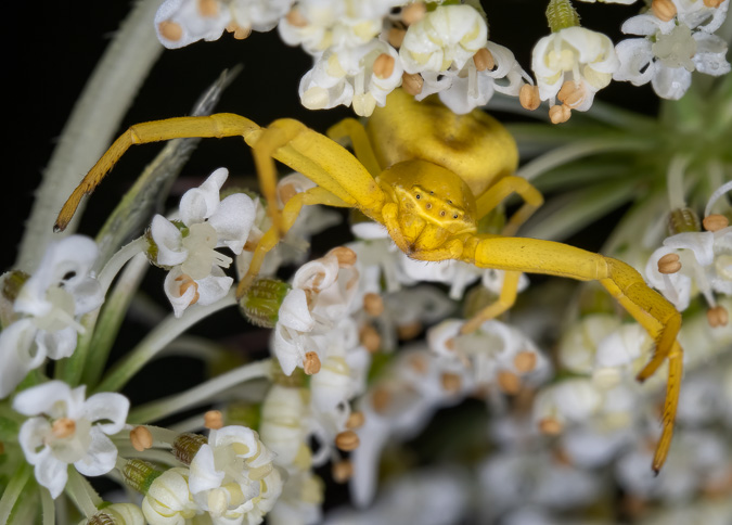 Crab Spider - ISO 200, f/13, 1/60 Second