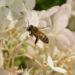 Bee In Flight, f/9.0, ISO 1600, 1/8000
