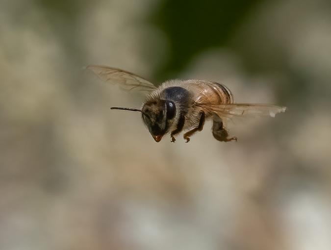 Bee In Flight, f/8.0, ISO 1600, 1/10000