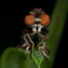 Holcocephala Calva Robber Fly - ISO 200, 60mm f/13, 1/60 Second