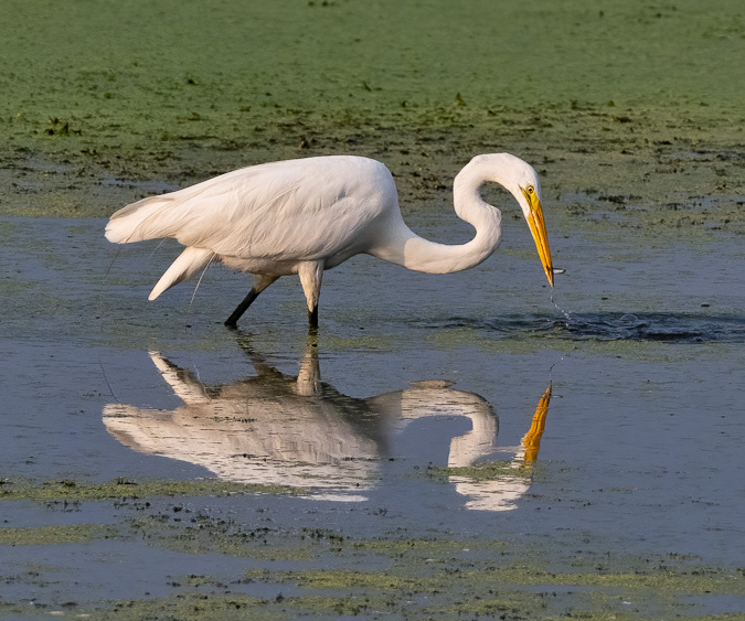 Great Egret. ISO 800, f/7.1, 1/2000 Second