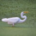 Great Egret, ISO 1000, f/6.3, 1/1000 second