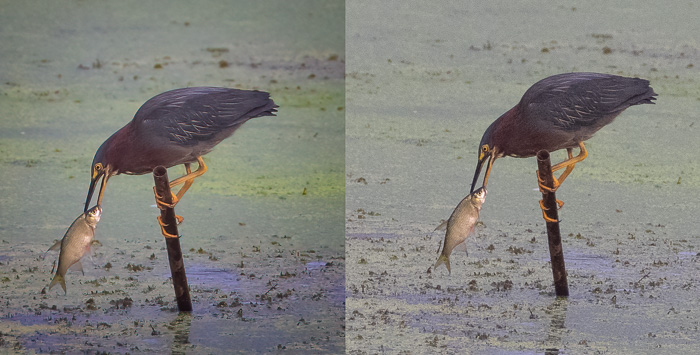 Green Heron Before and After Topaz DeNoise AI and Sharpen AI