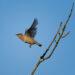 Cedar Waxwing in Flight, ISO 800, 420mm, f/8.0, 1/2500 second